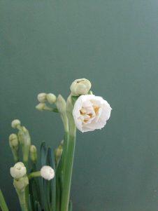spring flowers - bridal crown daffodils