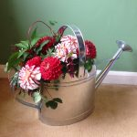 september flowers dahlias in a watering can